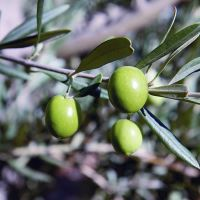 Manzanilla green olives - 250gr (drained contents)